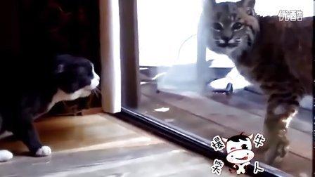 猫咪看到猞猁靠近窗户,开始示威的嚎叫。猞猁说其实我们是一家人发现最热视频萌萌哒 萌宠日常 动物搞笑 轻松时刻可爱的动物呆萌卖萌整蛊猴年春节春  晚