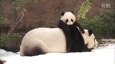 圣迭戈动物园熊猫宝宝与妈妈雪中酣战