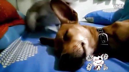狗狗正在睡觉 猫咪突然对照狗头就是一抓,然后怎么样了 发现最热视频萌萌哒 萌宠日常 动物搞笑 轻松时刻可爱的动物呆萌卖萌整蛊猴年春节春  晚