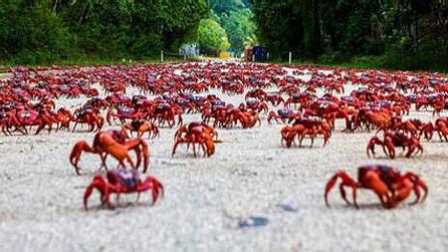 第45期 千万红蟹遭蚂蚁群残杀瞬间!