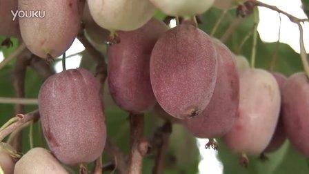 猕猴桃 第一部分 – 种类、栽培品种、应用
