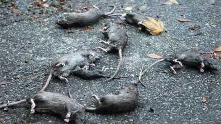 獵奇 第一百零七集  老鼠遇上气步枪之百发百中
