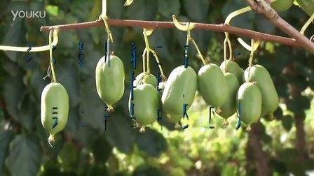 猕猴桃第二部分:种类,栽培品种及应用