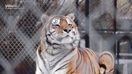 GW 动物园全家福:西伯利亚虎、孟加拉虎、白孟加拉虎、黑豹、狮虎兽,怎么还有一只骆驼?