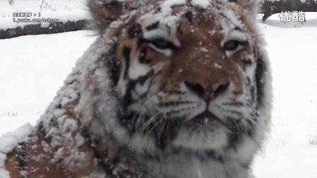 西伯利亚虎 ( Siberian Tiger ) 在雪中和亡灵序曲 ( The Dawn ) @狮子 老虎