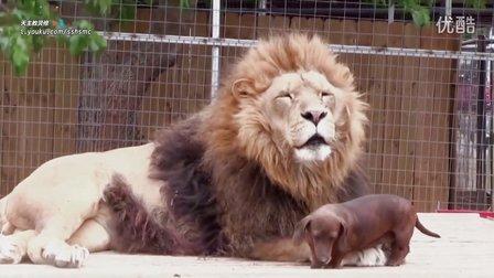 巴巴里狮 ( Barbary lion ) 和腊肠狗一起生活! - 狮子 北非狮