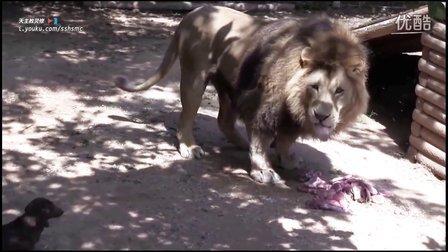 "Milo ""偷"" BoneDigger (巴巴里狮) 的午餐 醉了,绝对秒杀藏獒的气势! - 狮子 北非狮 萌宠"