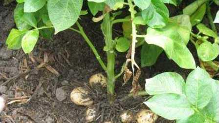 马铃薯主要病虫害防治技术