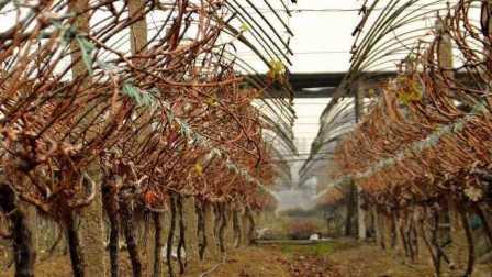 葡萄的冬季修剪技术之小双龙干树形一年培养技术