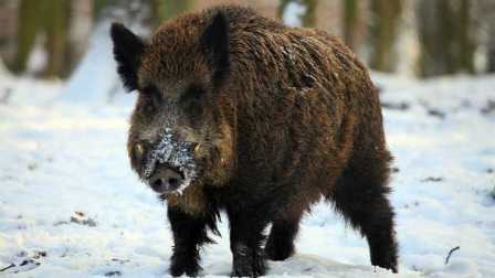 獵奇·原版  上山打大野猪