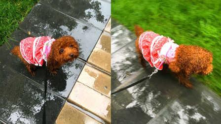 【火龙果的日常】下雨天火龙果撒欢的玩耍