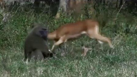 实拍大狒狒手撕活吃小鹿 单手反击母鹿