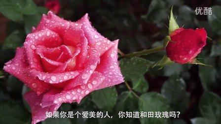 和田玫瑰花茶对女性痛经调节内分泌美容淡斑排毒有特效的新疆和田玫瑰花茶保健养生茶