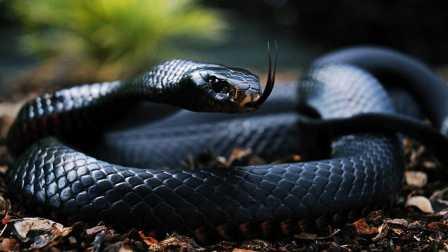 眼镜王蛇 眼镜蛇 盘点全球十大最致命毒蛇