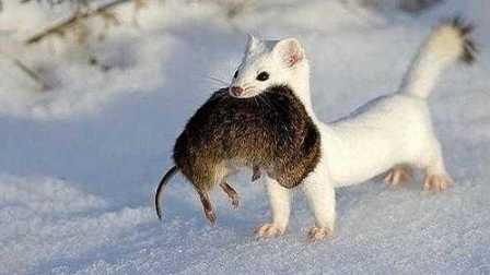 獵奇 第一百一十六集  超萌宠物雪貂来猎兔