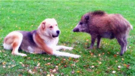 【狗狗居然被野猪欺负了,打又打不过,最后干