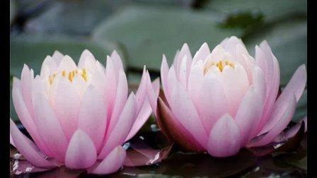 莲花种植 莲花种植价格 莲花种植技术 哪能买到莲花种子