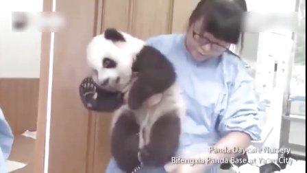 【发现最热视频】来熊猫幼儿园 看国宝怎么被惯坏!