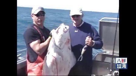 海钓阿拉斯加大比目鱼,你一定没看过比目鱼在海中转圈游泳