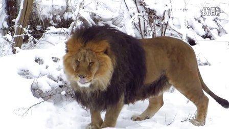 巴巴里狮  ( Barbary lions ) 的经典血统体型,当然纯种的已经不存在了。@狮子 老虎