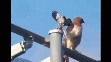 一只鸟试图驱逐捕食者