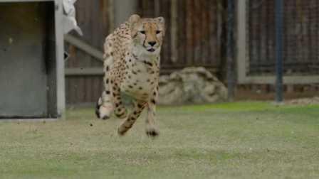 猎豹幼崽Ruuxa和小狗帕尔雷纳的故事