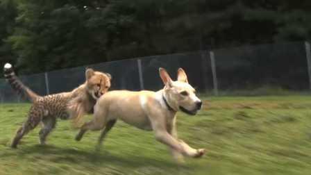 Kumbali和加护亚依,猎豹幼崽和小狗友谊
