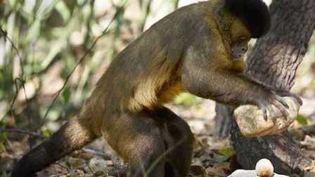 牛津大学科学家发现猴子已经有几百年使用石头工具的历史了