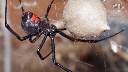 最毒的5种蜘蛛,遇见了赶紧逃命!【半岛Top榜】