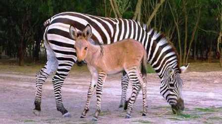 """【嗅君葩闻】公驴母斑马结晶:特殊物种小""""斑驴""""诞生 第五季168"""