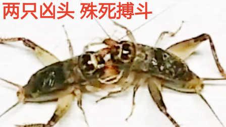 【虫王争霸】罕见! 两只凶头殊死搏斗6分钟 斗蟋蟀斗蛐蛐