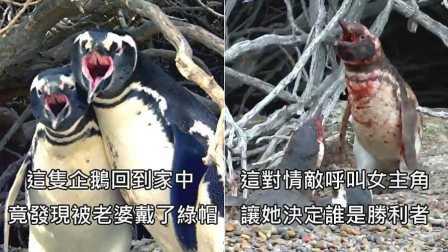 【冯导】企鹅回家发现被老婆戴绿帽,与小王爆发流血冲突