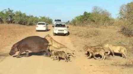 南非克鲁格国家公园 一只河马被一群狮子盯上了