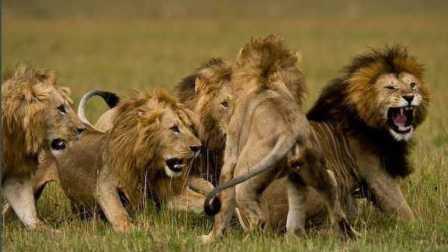群狮争斗人狮共舞(美国电影《ROAR顽皮的动物》片段)