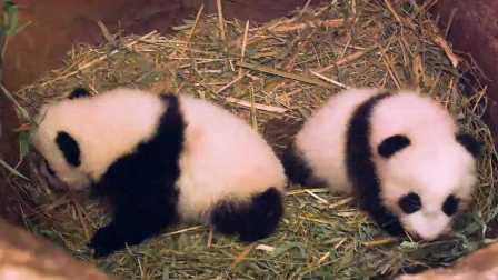 维也纳动物园内两只三个月大的熊猫小宝