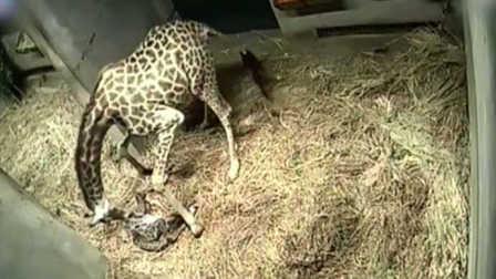 重庆动物园小长颈鹿降生:监控记录下过程 - 导向新闻