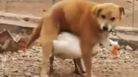 狗狗发情连鹅也敢上  动物界的奇葩大盘点