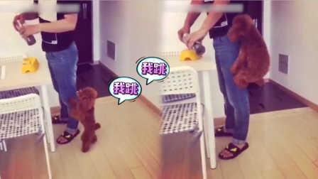 【火龙果的日常】狗急跳墙跳的真高