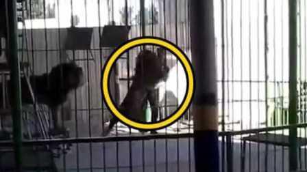 埃及一马戏团驯兽师表演时被狮子咬