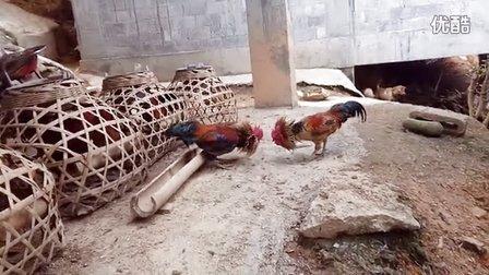 斗鸡:菜鸡