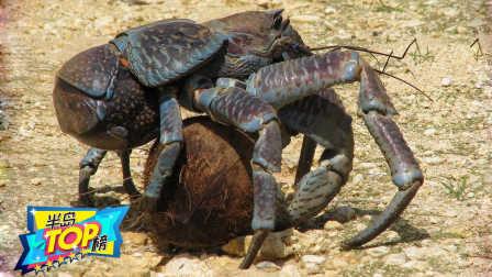 吃货真可怕,差点吃灭绝称霸世界的最大陆生蟹!