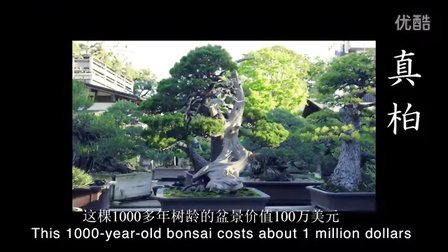 这个盆景园中有棵价值千万元的柏树盆景 博雅盆景 盆景入门 小林国雄