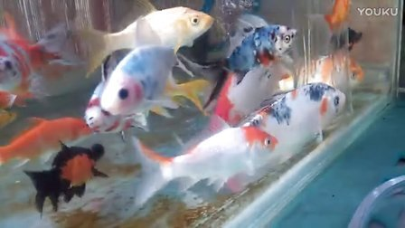 家养阳台地缸锦鲤和草金鱼🐠
