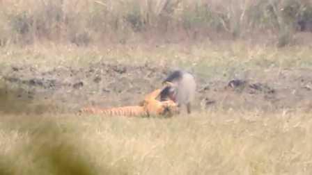 十分钟!一只老虎搞定一头野猪