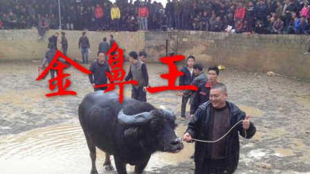2017斗牛贵州金鼻子牛王VS广西三江王经典之战