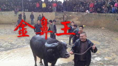 2017贵州金鼻王大战广西三江王的精彩斗牛完整视频