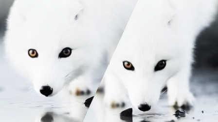 罕见北极银狐如此美丽
