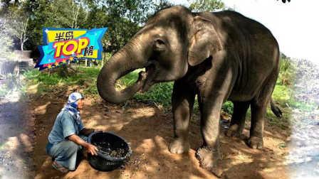 直击象屎咖啡生产全过程,工人不戴手套在象粪中找咖啡豆!