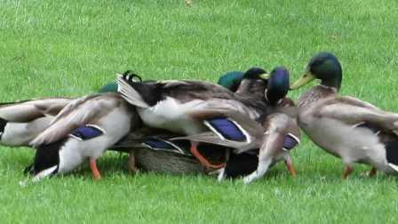 【18+】误入公鸭群的母鸭