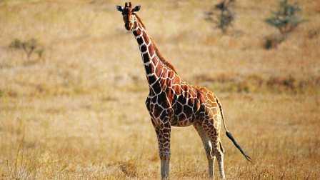 创意手工折纸DIY教程高大又温驯的长颈鹿 86